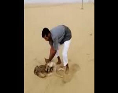 فيديو: مثير للحظة قبض سعودي على ذئب مفترس أكل خرافه
