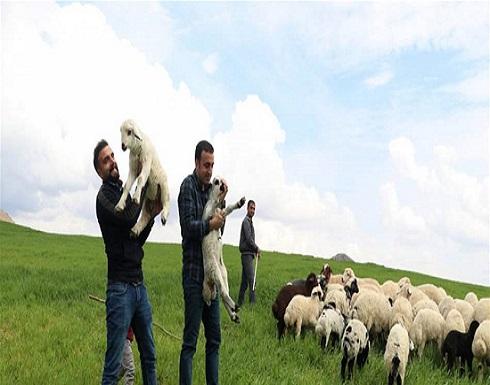 درسا بالنقود التي كسباها من تربية الماشية.. مهندسان يرعيان الغنم!