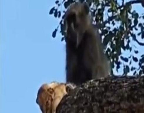 """شاهد : """"الصورة اتقلبت"""".. قرد يخطف شبل من أسد ويهرب به وسط الأشجار"""