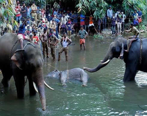 بالفيديو : أناناس مفخخ يقتل أنثى فيل حامل في الهند