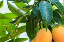 10 فوائد طبية لا تعرفها عن أوراق المانغو