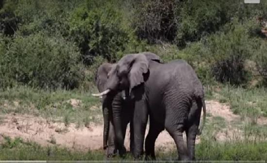 أفيال ذكور تتقاتل على أنثى (فيديو)