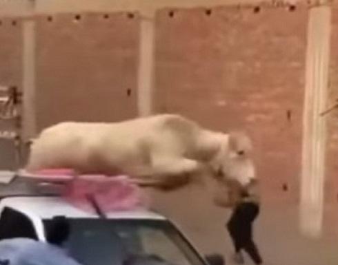 عجل خارق يرفض الذبح ويحطم سيارة نقل في مصر .. بالفيديو