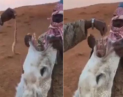 فيديو| رجلان يجبران جملاً على بلع أفعى حية ويشعلان غضب 'تويتر'!!
