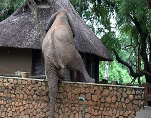 """شاهد ... فيل يتسلق سور 5 أقدام من أجل سرقة """"المانجو"""" في زامبيا"""