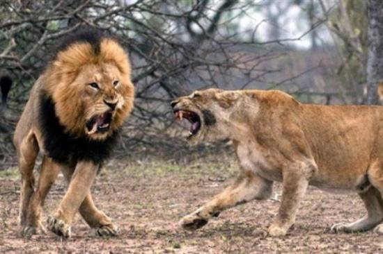 بالصور: خلاف 'زوجي' دموي بين أسد وأنثاه والنتيجة صادمة!