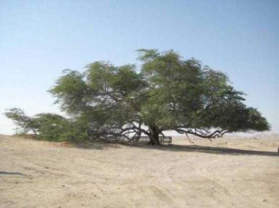 شجرة الحياة بالبحرين عمرها 400 سنة ولازالت خضراء