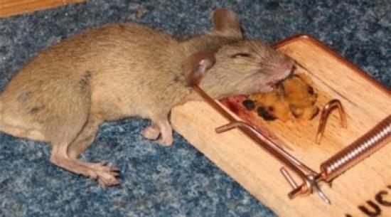 جاكرتا تدفع للمواطنين مقابل صيد الفئران