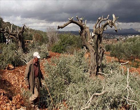 هيئة فلسطينية: قرار إسرائيلي باقتلاع 2000 شجرة زيتون جنوبي الضفة