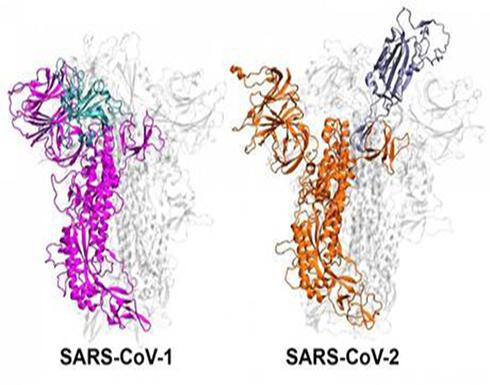 سبب ان  بعض سلالات فيروس كورونا أكثر عدوى من غيرها