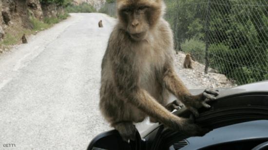 """""""تجارب القردة"""".. فضيحة جديدة في عالم السيارات الألمانية"""