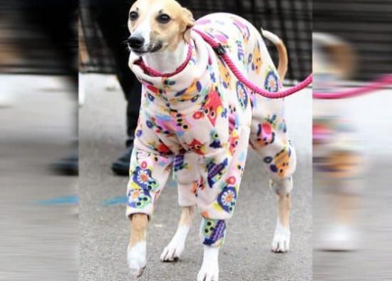 بالصور.. مئات الكلاب تتنافس على لقب الأكثر أناقة في بريطانيا