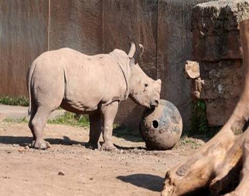 العلماء يحصلون على أجنة وحيد القرن الأبيض