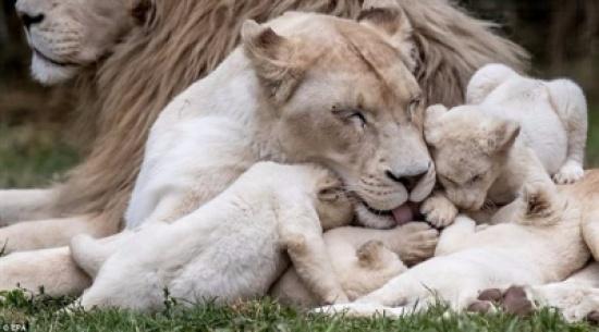حديقة حيوان تشيكية تحتفي بمولد خمسة توائم من الأسود البيضاء