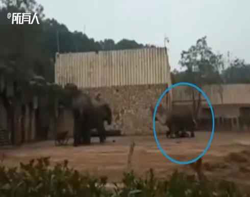 شاهد: فيديو صادم لفيل غاضب يهاجم مدربه ويدهسه حتى الموت