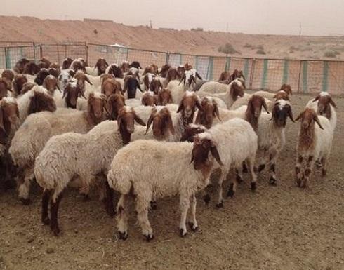 زيادة الطلب على الأغنام الأردنية في الخليج