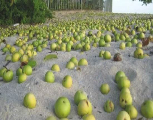 الجوافة السامة مذاق لذيذ نهايته الموت.. تفاصيل أخطر شجرة في العالم