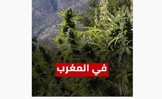 """شاهد :  المغرب يسمح بزراعة """" الحشيش """" رسميا"""