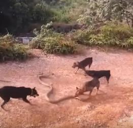 بالفيديو: معركة دموية بين 5 كلاب ضد أفعى كوبرا ضخمة!