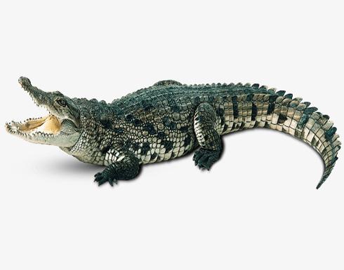 بحثاً عن أنثى.. أسرة أمريكية تعثر علي تمساح يتجول في منزلها