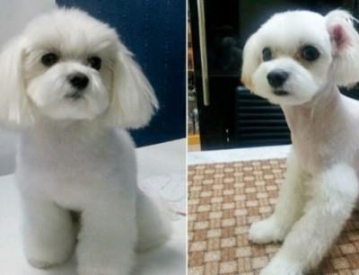 a3da6a5a3531b بالصور  كلاب في كوريا الجنوبية تخضع لعمليات التجميل!