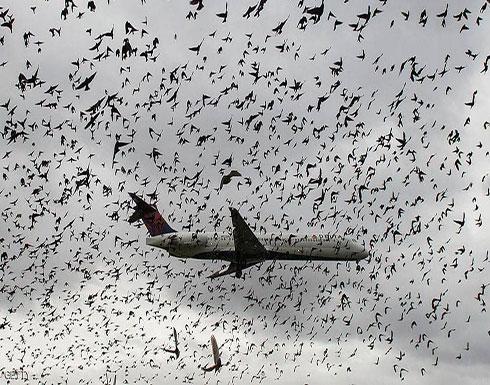 هل يمكن أن تتسبب الطيور بإسقاط الطائرات؟