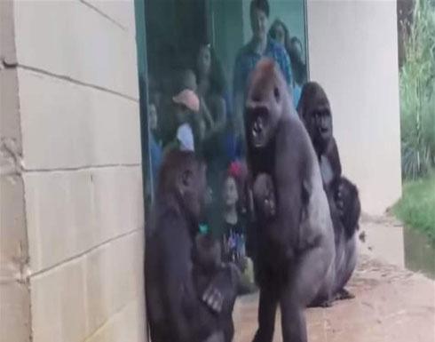 فيديو مضحك لهروب الغوريلا.. تصرّفات شبيهة بتلك البشرية
