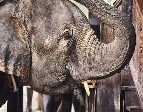 """فيل """"يقتل"""" رجلا على طريق عام"""