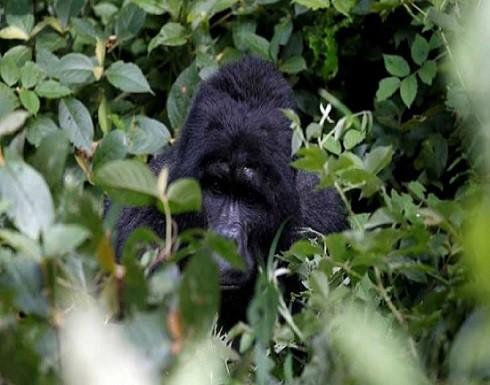 غوريلا يهاجم حارسة في حديقة الحيوانات بمدريد- (صور)