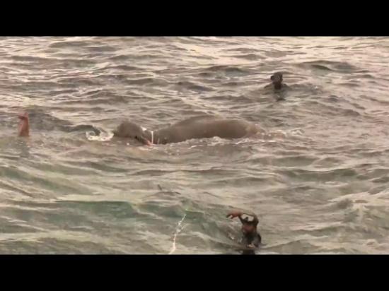 """بالفيديو- انقاذ فيل """"بأعجوبة"""" من عرض البحر"""