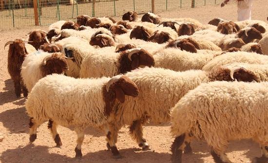 المفرق: تصدير حوالي 92 الف رأس اغنام للأسواق الخليجية