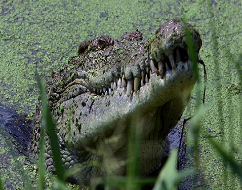 بالصور : فتاة أمريكية تداعب تمساحا عملاقا في يوم تخرجها