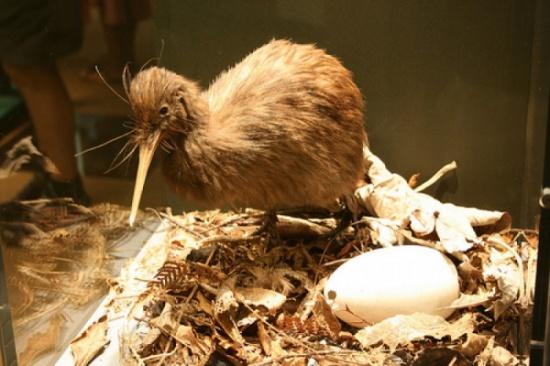 """خبر يثير عجب وحسرة العرب..عملية جراحية نادرة لقشرة بيضة فرخ """"كيوي"""" في نيوزيلندا"""