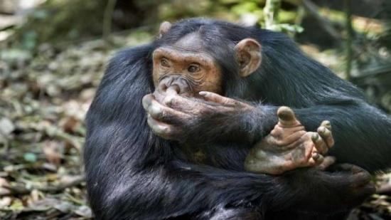 اكتشاف مرعب عن الشامبانزي: تعشق أكل الادمغة!