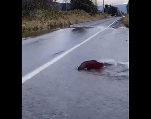 سمكة سلمون تحاول عبور شارع- (شاهد)