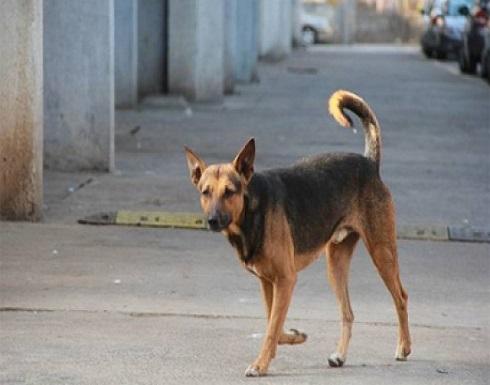الكرك : كلب ضال يعقر رأس رضيعة