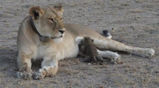 صور فريدة للبؤة ترضع نمراً صغيراً في تنزانيا