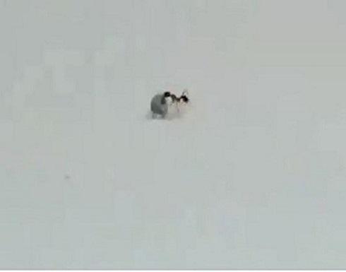"""بالفيديو : نملة ذات ذوق رفيع.. """"تسرق"""" قطعة ألماس وتهرب"""