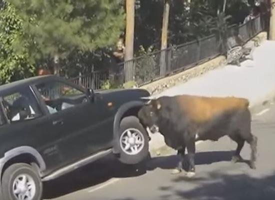 بالفيديو: لحظة محاولة ثور هائج قلب سيارة مليئة بالركاب