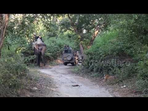 بالفيديو: لماذا تراجع هذا النمر عن افتراس فيل ضخم؟