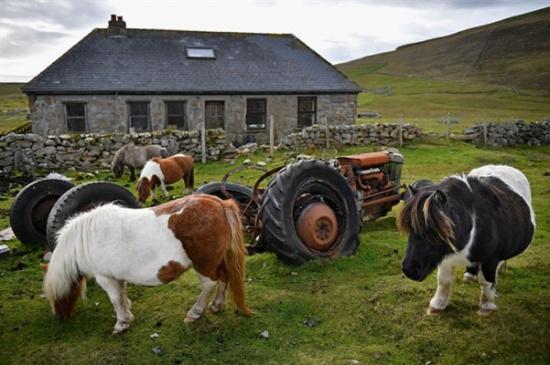 بالصور.. جزيرة أغلب سكانها من الخيول الصغيرة