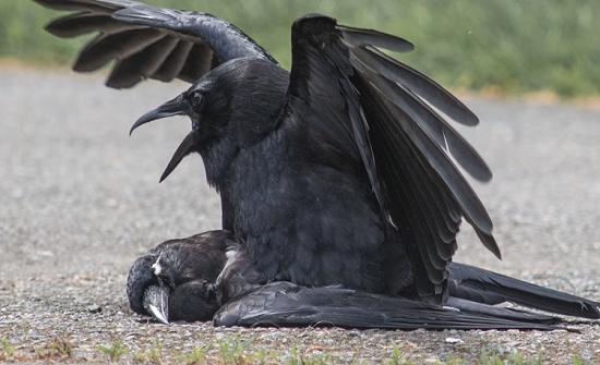 ظاهرة غريبة.. لماذا تقوم الغربان بمطارحة الموتى منها؟