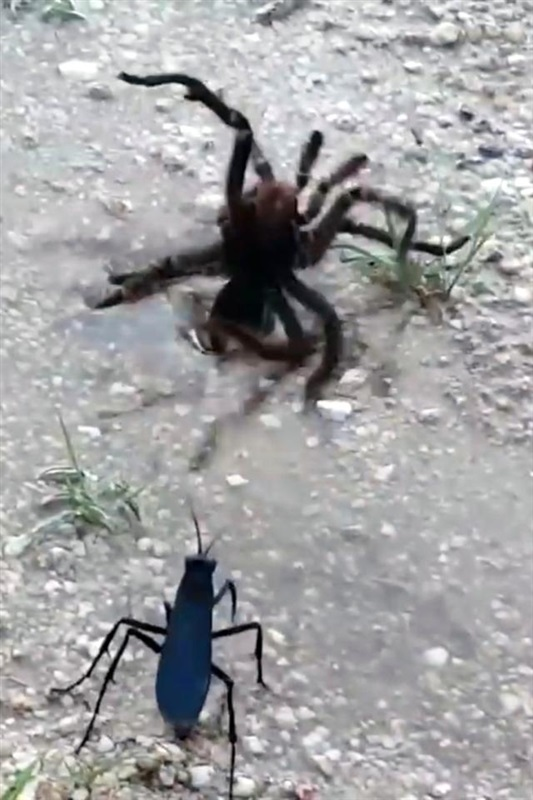 بالفيديو.. معركة وحشية بين عنكبوت ضخم ودبور صغير
