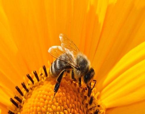 سم النحل يعالج الأكزيما