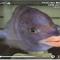 سمكة تمتلك أغرب شفاه تشبه البشر (فيديو)