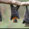 """""""الخفافيش"""" مصّاصة الدماء.. فوائد غير متوقّعة لحياة البشر!"""