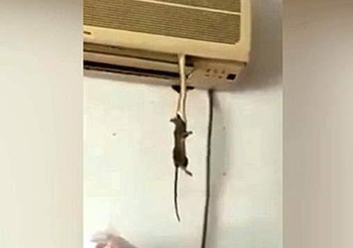 مشهد مرعب.. ثعبانٌ يتدلّى من المكيّف ليلتهمَ فأراً! (فيديو)