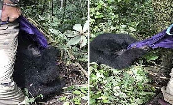 بالصور.. غوريلا مهدد بالانقراض يهاجم سائحة لسرقتها