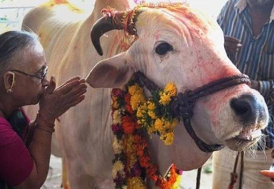 """الهند تبحث عن """"ملكة جمال"""" البقر"""