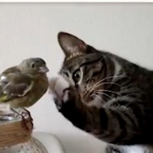 سلوك غريب لقط يحاول مداعبة عصفور (فيديو)